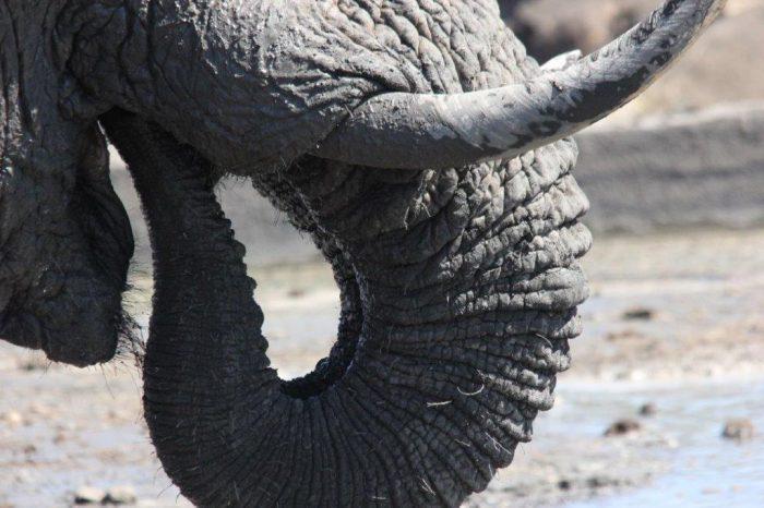 closeup van een olifantenslurf en slachttanden