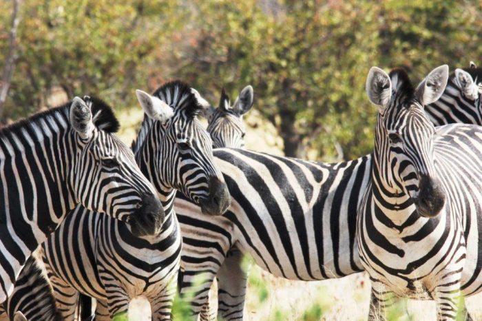 vier zebra's