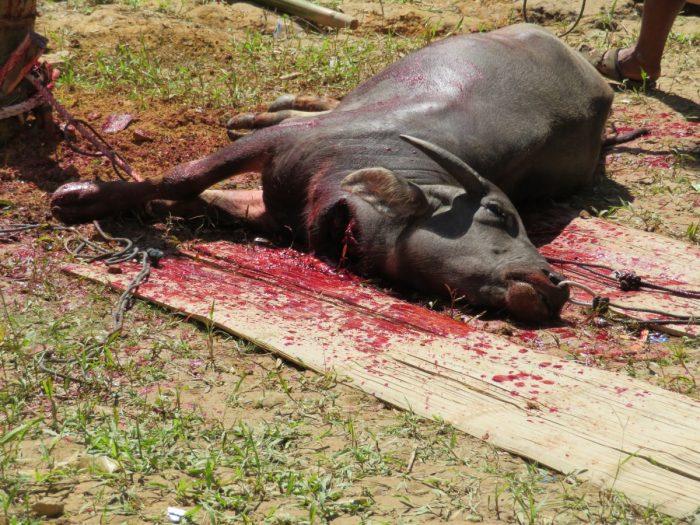 Buffel is net geofferd