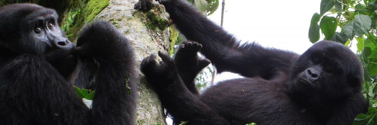 Oeganda - berggorilla