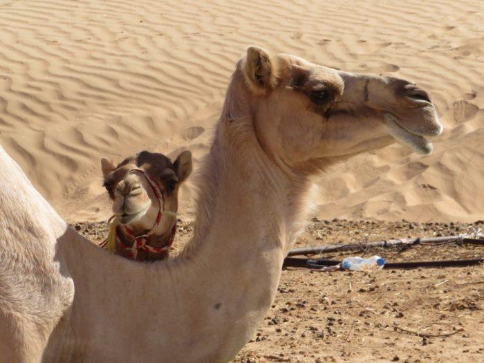 kameel met jong