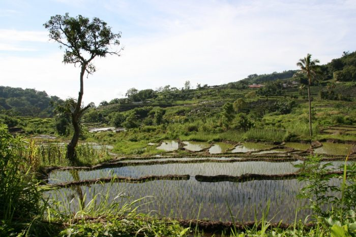 groene rijstvelden op Flores