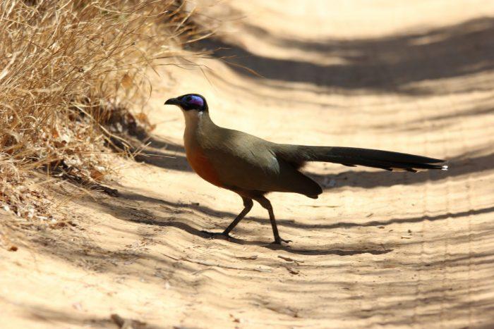 loopvogel