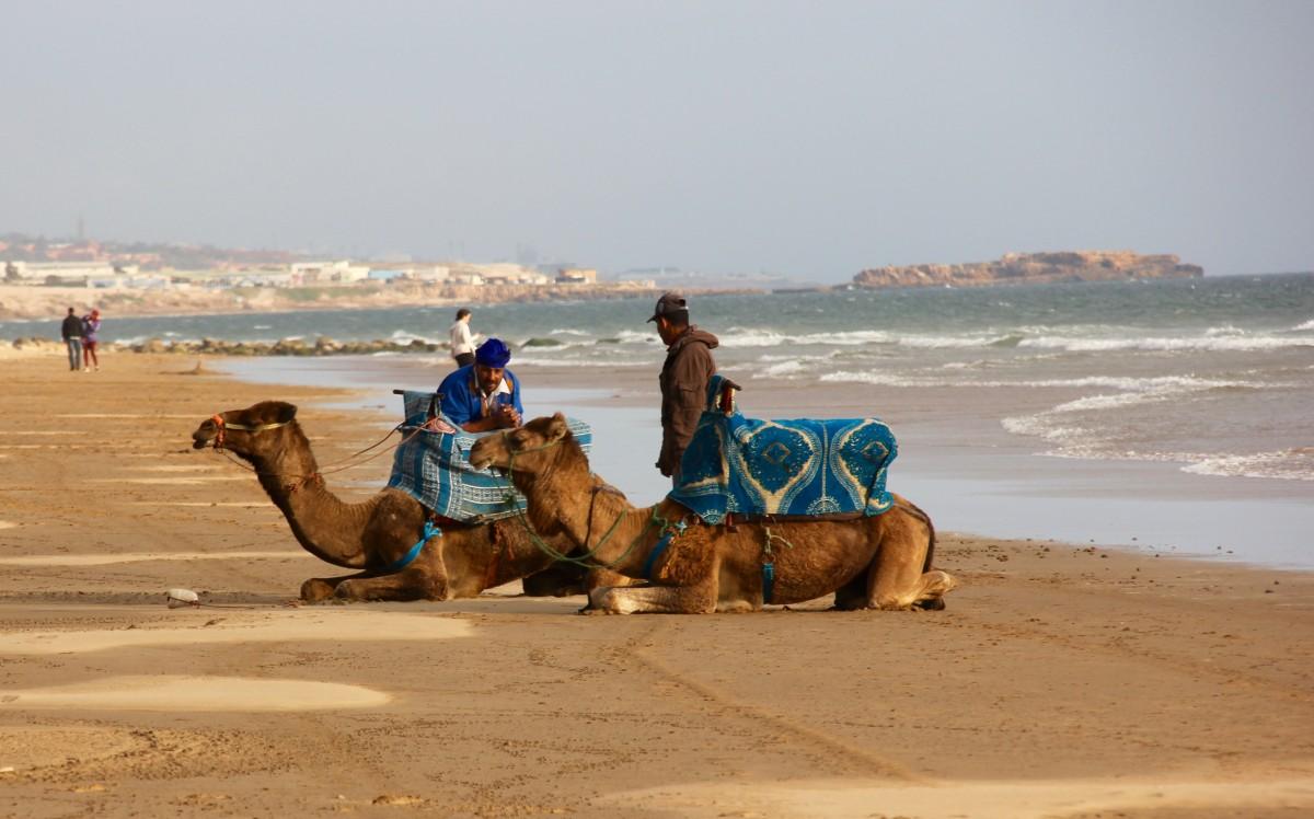 Twee kamelen