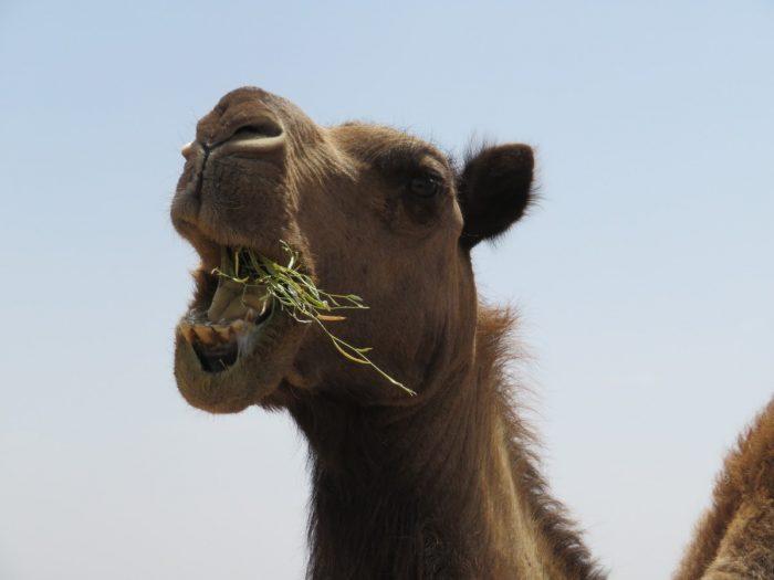 bek van kameel