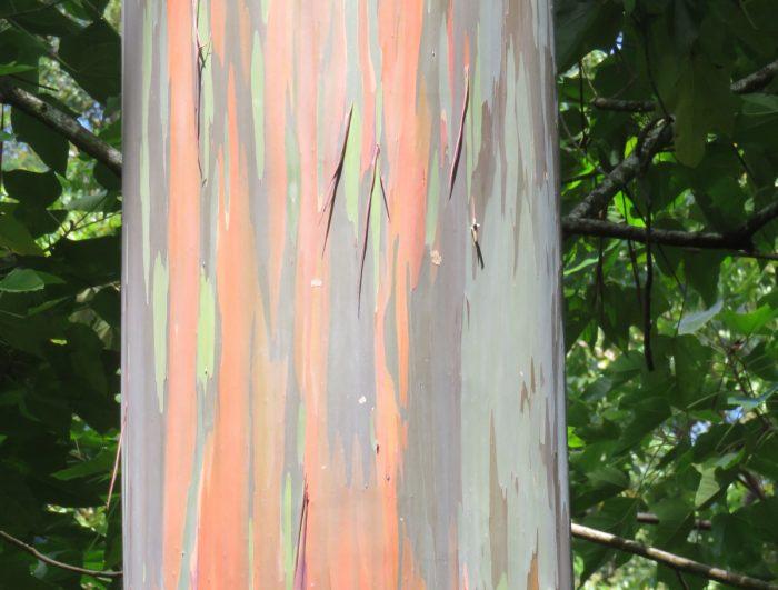 Bast van een regenboogboom