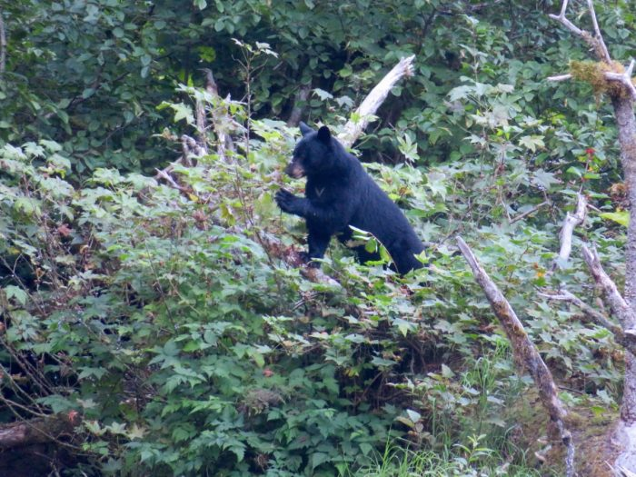 Zwarte beer bij Hyder