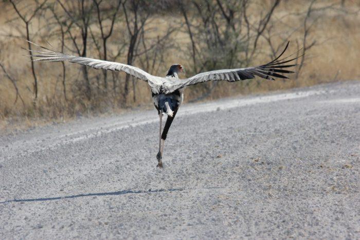 secretarisvogel Namibië