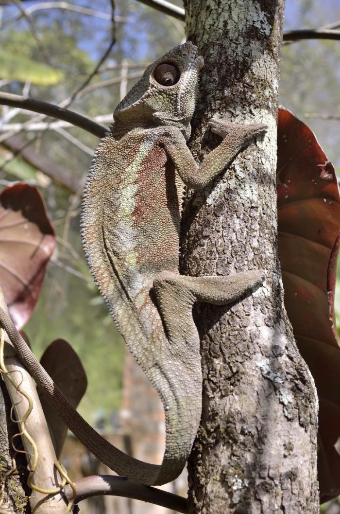 bijzonderheden Madagaskar: kameleon