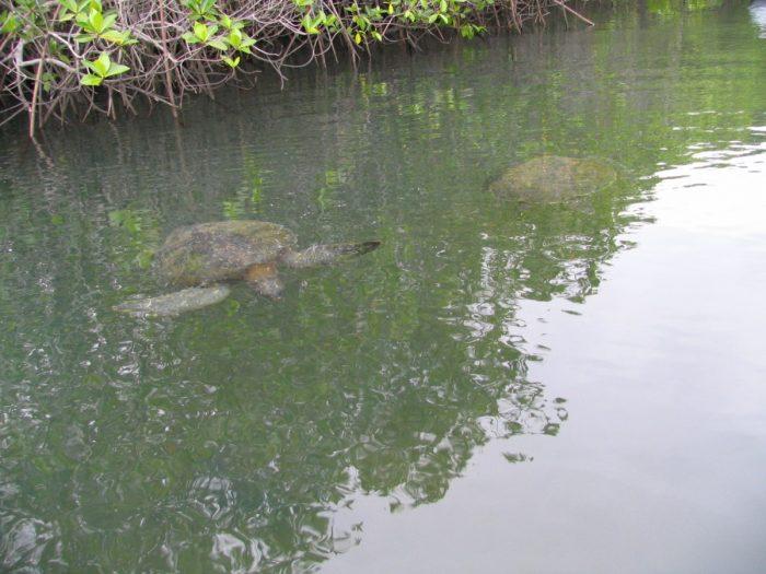 zeeschildpadden in mangrove