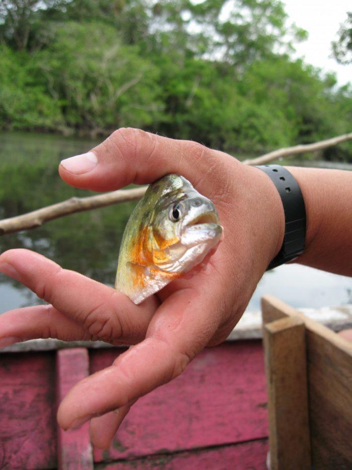 piranha's vangen