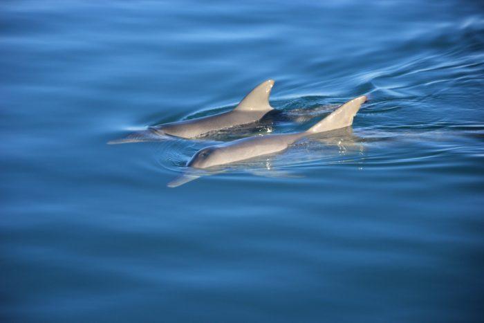 dolfijnen bij monkey mia