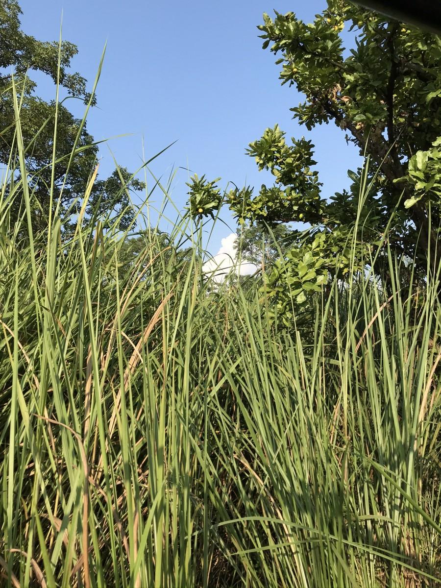Gras in Chitwan Nepal