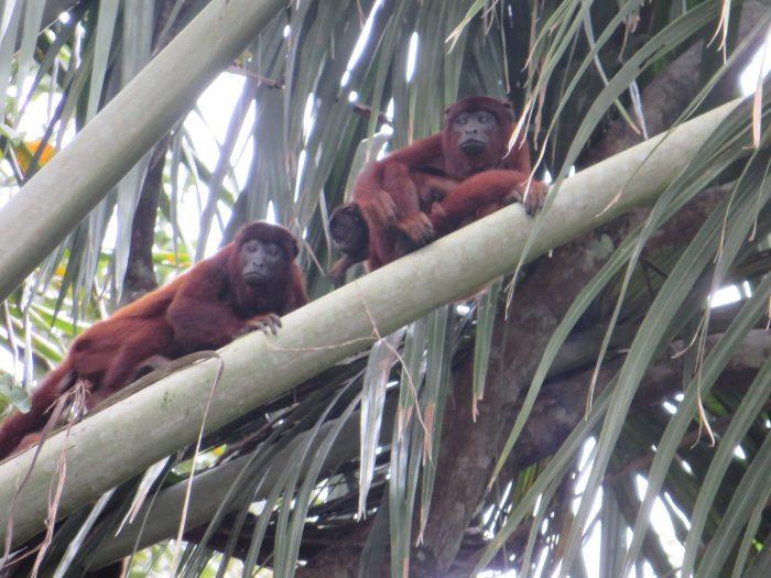 kapucijnen aapjes