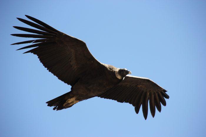 condor Peru