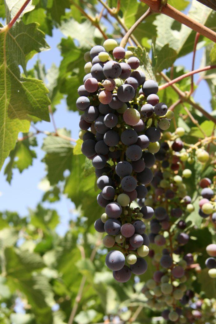 Noord-Argentinië druiven