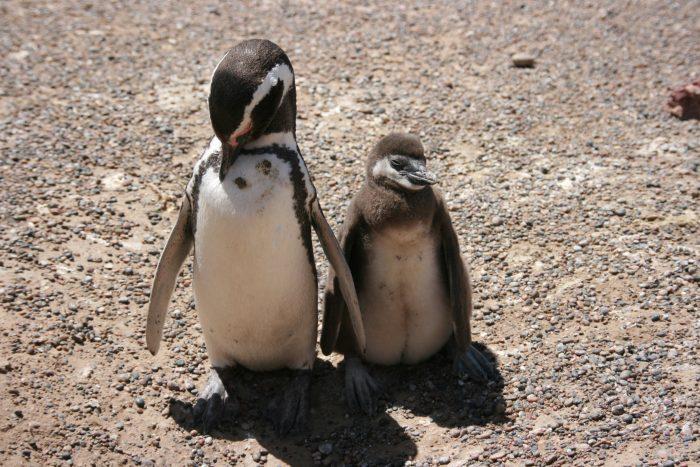 Punta Tombo Patagonië