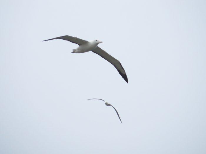 Albatrossen Nieuw Zeeland