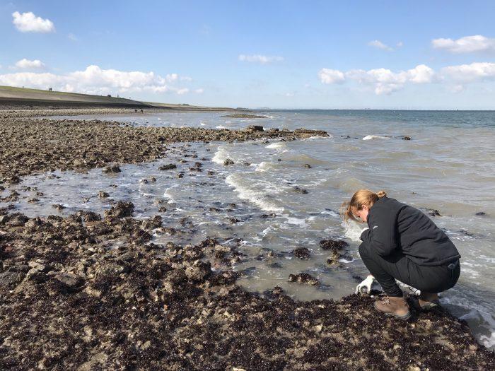 oesters plukken Steldijk