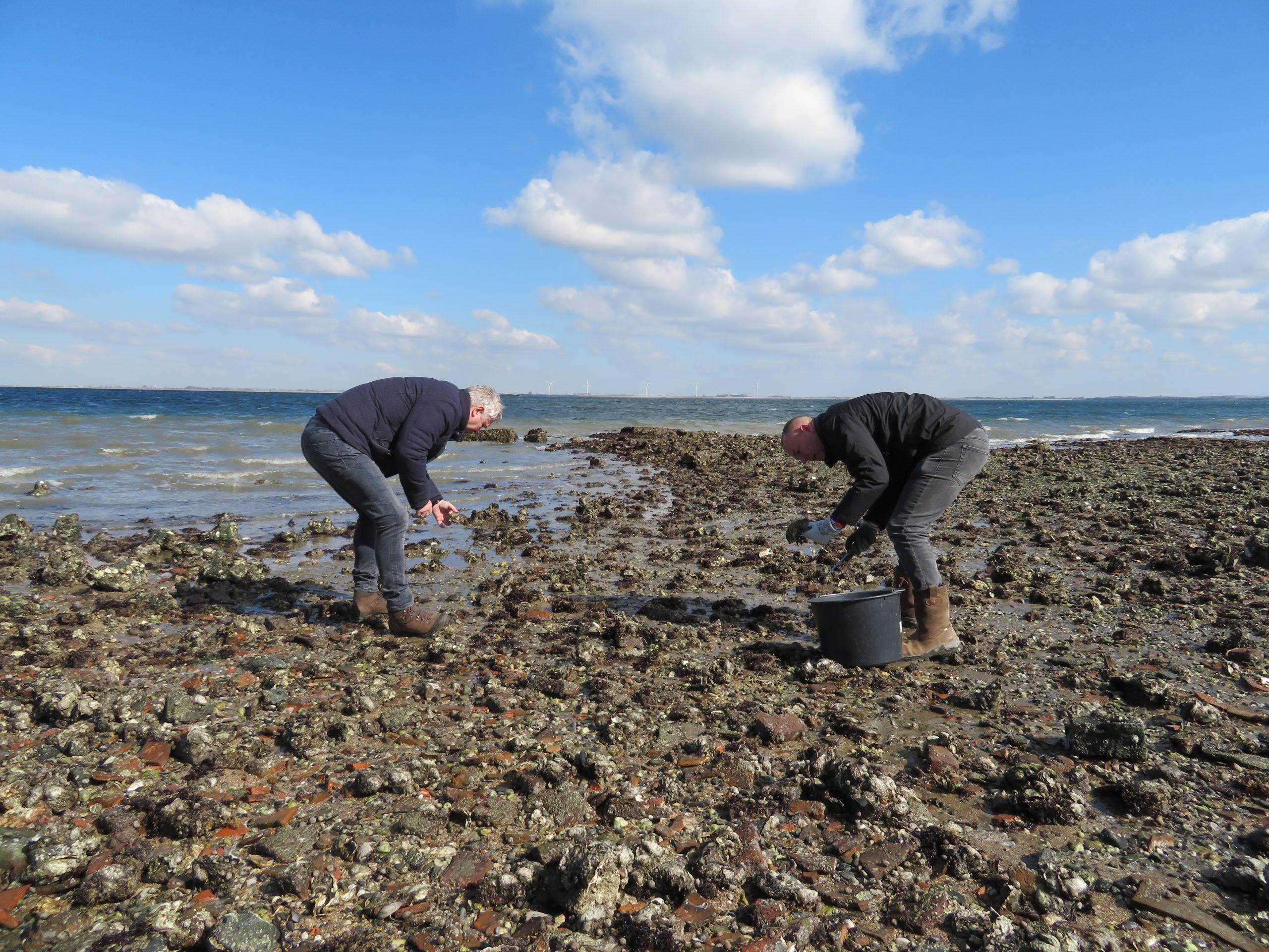 oesters plukken zeeland