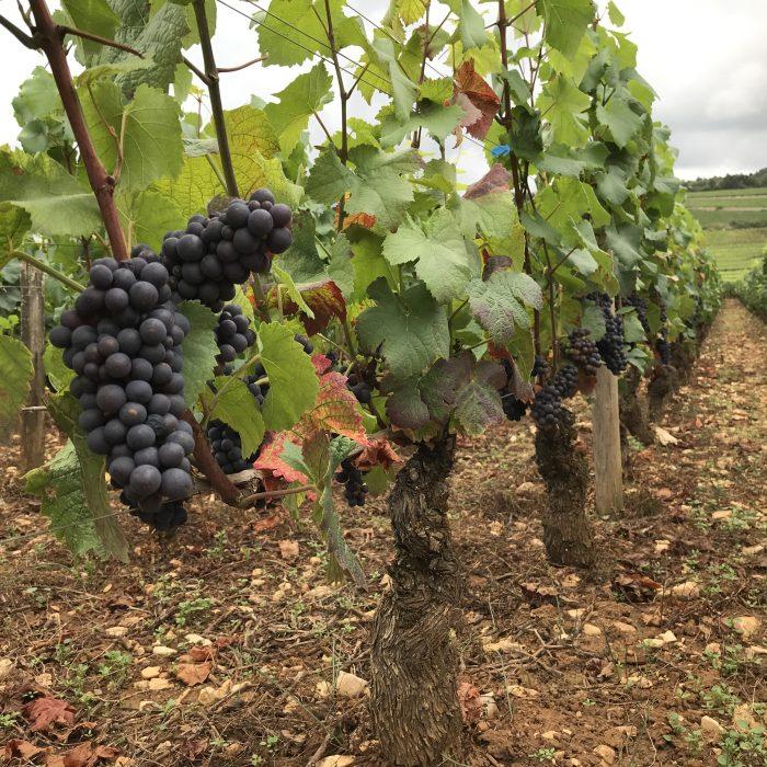 druiven Bourgogne
